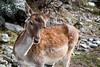 Ce n'est pas bambi (La Tarrask) Tags: switzerland suisse swiss bambi animaux valais biche faon valdentremont