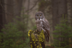 Dreams Come True (Happy Photographer) Tags: autumn bird fog forest woods october wildlife raptor owl yellowstonenationalpark greatgrayowl magical ynp horizonal yellowstonewildlife amyhudechek nikon200500f56 yourbestshot2015