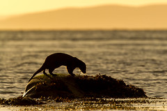 Contre-jour sur la belle cossaise (inutshuk (Benjamin)) Tags: carnivora carnivores europeanotter loutre loutredeurope lutralutra mammalia mammals mammifres mustelidae mustelids