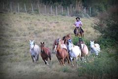 Empear o dia (Eduardo Amorim) Tags: sunset brazil horses horse southamerica brasil criollo caballo cheval atardecer caballos tramonto sonnenuntergang prdosol cavalos pelotas pferde cavalli cavallo cavalo gauchos pferd riograndedosul poniente anoitecer coucherdesoleil brsil chevaux gaucho cavall entardecer crepsculo  amricadosul poente gacho amriquedusud  gachos  sudamrica suramrica amricadelsur sdamerika crioulo caballoscriollos criollos  costadoce americadelsud crioulos cavalocrioulo americameridionale caballocriollo eduardoamorim cavaloscrioulos