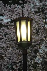 Sakura & Light (Toni Kaarttinen) Tags: japan  japonia    jap japonsko jaapan  japani japon xapn    japn jepang an tseapin giappone  japna japonija  japo  japonska japn hapon  japonya nht bn japanese narita naritacity naritatown hanami sakura cherry cherryblossoms cherryblossom naritasan shinshji naritasanshinshji lamppost
