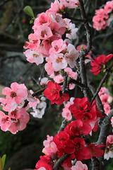 Kamakura | Hasedera (Toni Kaarttinen) Tags: japan  japonia    jap japonsko jaapan  japani japon xapn    japn jepang an tseapin giappone  japna japonija  japo  japonska japn hapon  japonya nht bn japanese kamakura formercapital temple shrine zen garden hasedera flowers