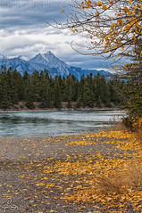 Athabasca Shores (Quincey Deters) Tags: 2014 alberta athabascariver autumn blue canada canadianrockymountains cloud colourimage darksky evening fall fallcolours fallenleaves foliage jasper jaspernationalpark landscape leaf mountain northamerica orange peak river sky snow tree vertical water yellow