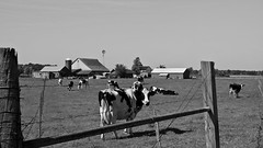 Howdy (ramseybuckeye) Tags: hardiin county ohio amish farm holstein cattle cows dairy milk pasture fence posts black white pentax art life