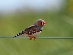 Zebra finch (Hone Morihana) Tags: westerntreatmentplant shorebirds migratorybirds