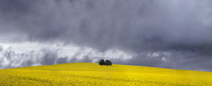 Yellow (Jay Daley) Tags: canola fields storm cowra nsw australia nikon 70200