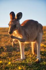 Breakfast - Native Style || EMERALD BEACH || COFFS COAST (rhyspope) Tags: australia aussie nsw new south wales coffs harbour coast kangaroo wallaby nature native animal rhys pope rhyspope canon 5d mkii flower