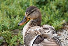 (careth@2012) Tags: duck wildlife nature pose bird waterfowl