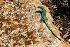 El smbolo de Formentera (Andres Breijo http://andresbreijo.com) Tags: lagartija pitiusa reptil lagartijadeformentera formentera baleares balearic island isla animal naturaleza nature