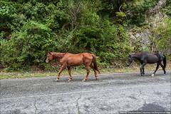 Лошади свободно гуляют по дороге