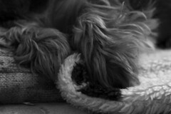 Details (misa.stahlova) Tags: 365 365project canon 50mm blackwhite bw monochrome indoor pet dog yorkshireterrier kessy detail portrait snapshot legs tiny lovely cute animal paw everydaylife visualdiary