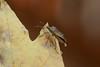 How embarrassing! (dbifulco) Tags: garden insect macro nature nikkor105f28 peeing shieldbug stinkbug truebug wildlife