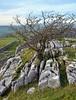 Tree growing through limestone pavement (Majorshots) Tags: northyorkshire yorkshire cravendistrict limestonescenery limestone limestonepavement winskillstones winskillstonesnaturereserve