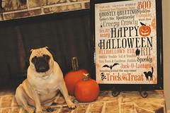 2016-10-17 Django (annamkeith) Tags: pug halloween pumpkin