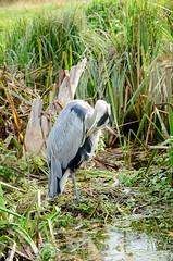 Heron (piinklady) Tags: bushypark birds wildlife wildbirds piinklady nikond7000 nikonafnikkor70300mm1456gvr