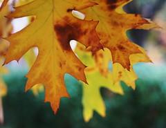 Color transition, last stages (IamWadidiz) Tags: autumn2016 autumngold fancycolours nikkorais nikonnikkor nikon nikonphotography vintagelens manualfocus manualfocuslens 50mmf14ais