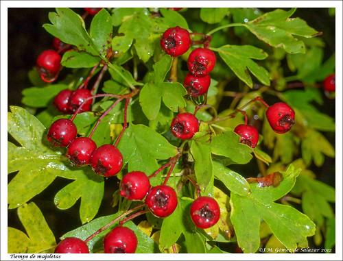 En primavera flores blancas en otoño frutos rojos. Crataegus monogyna, majuelo, espino albar o espino blanco