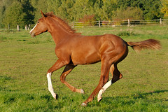 Life is Crazy / Oktober II (Heiko Schneemann) Tags: pferde fohlen foal lifeiscrazy