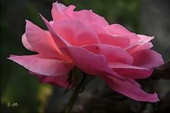 Rosa (Laralucy) Tags: rosa fiore natura macro closeup