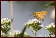 Mariposa Saltarn Amarilla (Florin Paucke) Tags: lepidptero hesperidae mariposasaltarinaamarilla hylephilaphyleus butterflie butterflies insecto argentina ecologa ecosistema biotopo biologa biodiversidad naturalista naturaleza