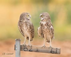 Staring Contest (CR Courson) Tags: burrowingowl owls strigidae zanjeropark birds birdphotography birdsofprey staringcontest nikon naturephotography nature crcourson chuckcourson arizonabirds