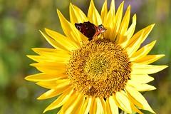 Tisch fr zwei - sonnige Gre (chrissie.007) Tags: 20161015 schmetterling biene sonnenblume gelb sonne insekten chrissie sunflower butterfly