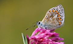 Common Blue 110816 (10) (Explored) (Richard Collier - Wildlife and Travel Photography) Tags: naturalhistory wildlife macro butterflies closeup british commonblue