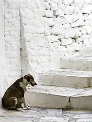IMA_9248  Peace and Quiet (foxxyg2) Tags: dogs canine nursing mothers solitude alone steps apeiranthos naxos cyclades greece greekislands islandhopping islandlife