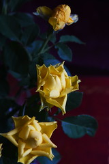 DSC_3187 (PeaTJay) Tags: nikond750 reading lowerearley berkshire macro micro closeups gardens indoors nature flora fauna plants flowers rose roses rosebuds
