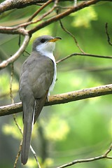 Yellow-billed Cuckoo (Coccyzus americanus), Bear Mountain State Park, New York (Daniel J. Field) Tags: yellowbilledcuckoo coccyzusamericanus