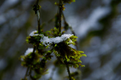 Winter Dreams (Kristian Francke) Tags: snow moss tree twig branch plants nature natural cold ice brown green winter 2015 pentax tamron white
