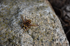 Milesia crabroniformis (esta_ahi) Tags: baixcamp syrphidae diptera insectos fauna capafonts tarragona spain espaa  milesia crabroniformis milesiacrabroniformis