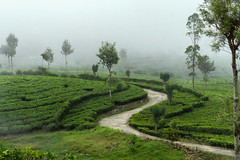 Magical tea (Matthieu Cneude) Tags: tea srilanka cloud mountain field road tree mysterious fog haputale