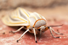 Gopre (Eric Gitonga) Tags: ericgitonga kenya nature macro arthropods phylum kingdom arthropoda animal animalia segment segmented head abdomen legs mouth eyes compoundeye simpleeye instar exuvia moult exoskeleton grow develop misunderstood stinger sting egg fertilization sperm female male insect insecta thorax 6legs sixlegs wings flight crawl antenna mpalaresearchcentre mrc laikipia 40x60