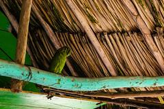 Little visitor (giulian.frisoni) Tags: bird colombia tayrona tropical green pajaro adventure aventurea parquenacional natural naturaleza nature jungla selva jungle rainforest beach