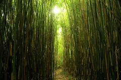 Bamboozled (siebensprung) Tags: ireland irland inishbeggardens garden garten bambus green path pathway entrance eingang durchgang weg wildnis urwald wild wilderness bamboo