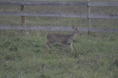 _MG_1846 (thinktank8326) Tags: deer whitetaileddeer fawn doe babyanimal babydeer