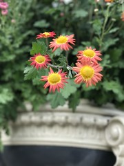 Red Daisy Mums (AndyS03) Tags: flower flowers mums bokey iphone iphone7 iphone7plus chrysanthemum