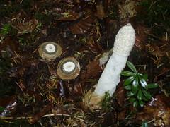 Phallus impudicus (Michel.Cribier) Tags: phallus impudicus champignon mycologue mycologie nature cribier michel satyrepuantnoncomestible