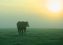 20161010-07_Cow_Morning Mists_Little Lawford Rugby (gary.hadden) Tags: rugby warwickshire littellawford kingsnewnham middleengland landscape dawn sunrise mist softlight goldenhour cow cattle bullock cows