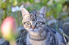 Blue portrait (dfromonteil) Tags: cat chat katze felino flin eyes yeux look regard nature animal portrait closeup bokeh