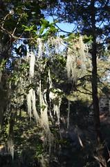 Ano Nuevo, moss, Butano State Park, Goat Hill trails, Little Butano Creek, redwoods (David McSpadden) Tags: anonuevo butanostatepark goathilltrails littlebutanocreek moss redwoods