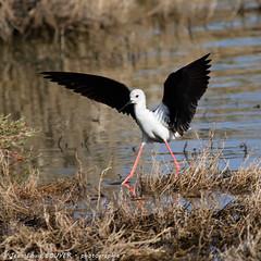_MG_8578 LR flickr.jpg (Jean Louis BOUYER photographie) Tags: oiseaux échasse blanche échasseblanche