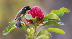 New Holland Honeyeater (Pete Taylor's photostream) Tags: phylidonyrisnovaehollandiae newhollandhoneyeater waratah telopeaspeciosissima campbellrhododendrongardens blackheath nikond800e nikkor300mm28 feeding