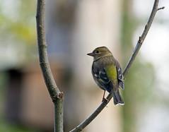 Pinson des arbres, Madame et son dos vert (JFB31) Tags: pinsondesarbres fringillacoelebs commonchaffinch passriformes fringillids