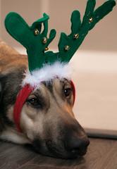Get in the Spirit (Cindy's Here) Tags: fritz antlers reindeerantlers reindeer christmas season canon ansh challenge