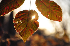 playing in the sun (christiaan_25) Tags: leaves fall autumn colored mottled serrated serrate speckled raspberry plant nature sunlight sunshine flare glow gold golden evening season bokeh blur outside outdoors explore nov172016 221