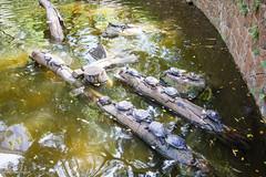 HongKong.002 (ginomempin) Tags: turtles basking pond garden kowloonpark hongkong canon1022 wide