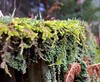 #Moss #lychnis #leaves #tree #stump #growing #mike #Liebler #mikey #fall #foliage #Autumn #forest #Connecticut #woods #woodland #nature #life #brilliantly #beautiful #mosses #mossy #ground (mikeliebler222) Tags: amount larg interesting lots tonof filledwith coveredwithmoss coveredwithlichen deadtree log bright brilliant awesome cool colorful green spiked spikes ontopof covers covering covered with hiking trail onthetrail intheforest inthewoods chris paul growingwild wild growingontreestump growingontree foliose lichens lichen mothernature treestump trees from fallen moss lychnis leaves tree stump growing mike liebler mikey fall foliage autumn forest connecticut woods woodland nature life brilliantly beautiful mosses mossy ground