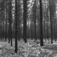 Pines/Yashica-Mat/RPX400 (Jonas.Nilsson) Tags: pine yashicamat twinlensreflex tlr rpx400 xtol winter blackandwhite bw believeinfilm filmphotography film filmisnotdead iamfilm mediumformat mf monochrome 120film 6x6 square